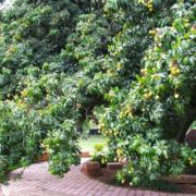 Lichi Tree